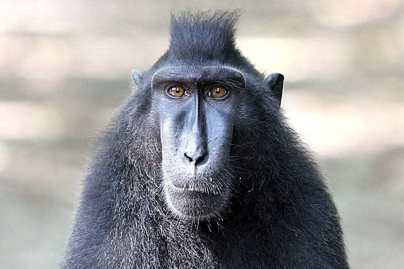 800px Celebes crested macaque